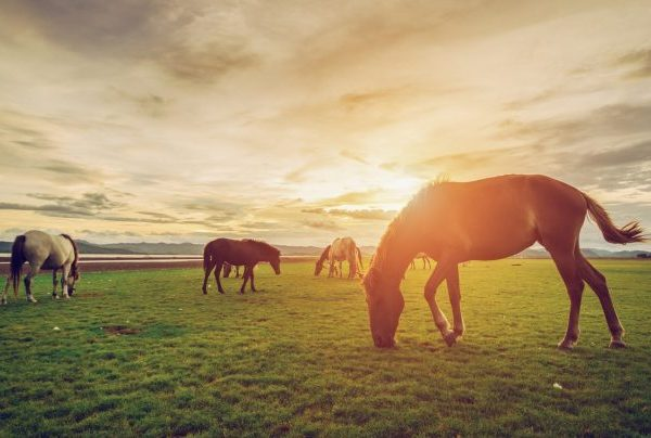 In a natural, free roaming situation horses graze nearly constantly throughout the day and night.