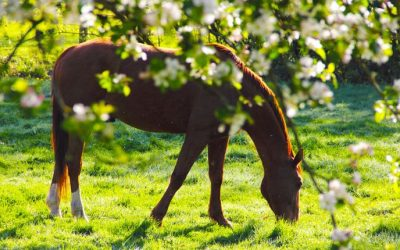 Spring grass: Equine Laminitis